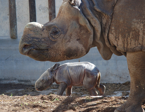 New Indian rhinoceros arrives at Terra Natura Benidorm to promote conservation of its species